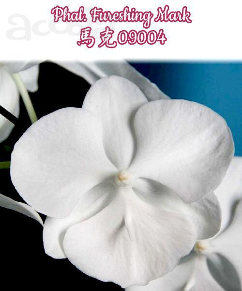 Орхидея Phalaenopsis Fureshing Mark